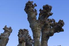 光秃的飞机树在冬天,法国 库存图片