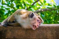 光秃的猴子它是牙在锡吉里耶,斯里兰卡 免版税库存图片
