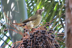 光秃红喉刺莺的钟声鸟Procnias nudicollis 库存图片