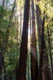 光线通过树在Muir森林 库存照片