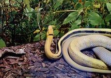 光芒四射的蛇蛇 免版税库存图片