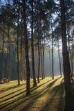 光通过杉木森林 免版税库存图片