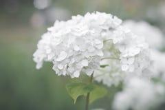 光滑的八仙花属花  库存图片
