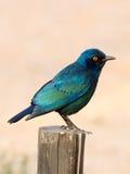 光滑的椋鸟科在南非、纳米比亚和博茨瓦纳之间的Kgalagadi境外国家公园拍摄了 免版税图库摄影