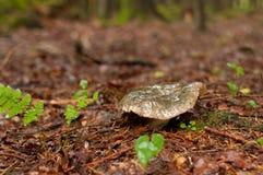 光滑的灰色乳菇属necator 免版税库存图片