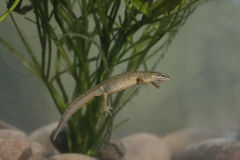 光滑的蝾螈,寻常的Triturus 免版税库存照片