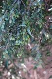 克利特希腊橄榄色种植的结构树 库存图片