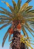 克利特枣椰子树 免版税库存图片