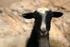 克利特绵羊 免版税库存图片