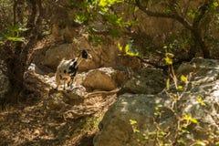克利特,希腊:一只山羊在棕榈海湾森林里  免版税库存图片