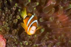 克拉克的银莲花属鱼 免版税库存照片
