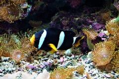 克拉克` s在珊瑚礁的anemonefish游泳 库存照片