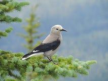 克拉克` s胡桃钳Nucifraga columbiana,有时指克拉克` s乌鸦或啄木鸟乌鸦,一只燕雀类鸟 库存图片