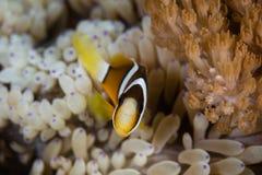 克拉克` s Anemonefish 免版税库存图片