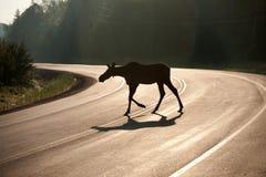 克服的早期的高速公路麋早晨 库存图片