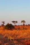 克留格尔国家公园、林波波河和普马兰加省省,南非 图库摄影