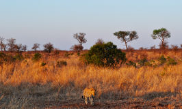 克留格尔国家公园、林波波河和普马兰加省省,南非 免版税图库摄影