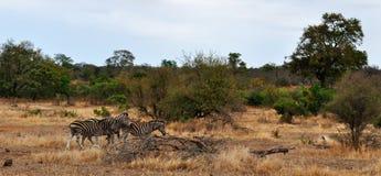 克留格尔国家公园、林波波河和普马兰加省省,南非 免版税库存照片
