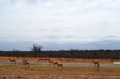 克留格尔国家公园、林波波河和普马兰加省省,南非 库存图片