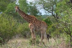 克留格尔国家公园,普马兰加省,南非 免版税库存照片