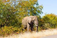 从克留格尔国家公园,非洲象属africana的大象 免版税库存照片