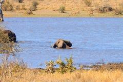 从克留格尔国家公园,非洲象属africana的大象 免版税图库摄影