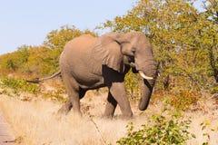 从克留格尔国家公园,非洲象属africana的大象 免版税库存图片