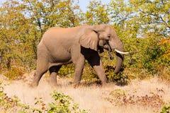 从克留格尔国家公园,非洲象属africana的大象 库存图片
