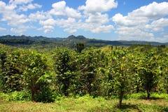 克罗伊登种植园是在Catadupa山的山麓小丘紧贴的一个运作的种植园在蒙特哥贝,牙买加附近 免版税库存照片