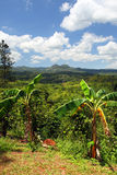克罗伊登种植园,牙买加的储蓄图象 库存照片