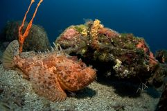 克罗地亚石头鲈 库存照片