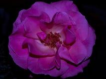 克罗地亚,扎达尔,秀丽,上升了,变粉红色,上升了,秀丽,自然,秀丽 免版税库存照片