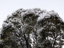 克罗恩在雪的榆树 库存照片