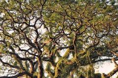 克罗恩的巨大的热带树 库存照片