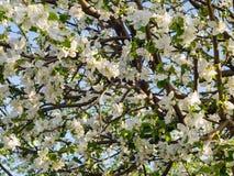 克罗恩的开花的苹果 库存照片