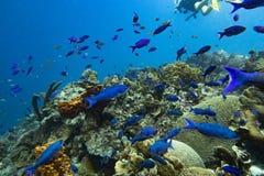 克里奥尔人的濑鱼学校和潜水者背景的 图库摄影