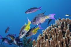 克里奥尔人的濑鱼 免版税库存照片