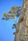 克里米亚半岛杉木 免版税库存图片
