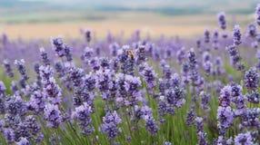 克里米亚半岛淡紫色开花特写镜头 免版税库存图片