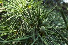 克里米亚半岛自然 雪松 免版税库存图片