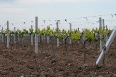 克里米亚半岛葡萄园在春天 库存照片