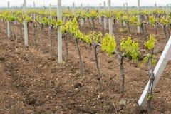 克里米亚半岛葡萄园在春天 库存图片