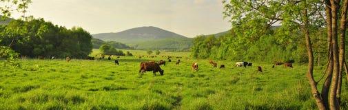 克里米亚在吃草棕色母牛景色的一个绿色草甸领域的夏天 免版税库存图片