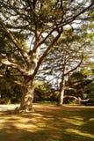 克里米亚更加极大的结构树乌克兰 图库摄影