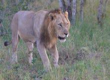克鲁格狮子 免版税库存图片