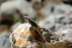 克什米尔人岩石蜥蜴 库存照片
