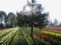 从克什米尔谷的美妙的郁金香庭院 免版税库存图片
