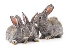兔子三 库存图片