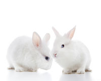 兔子二白色 库存照片