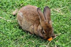 兔子兔宝宝用红萝卜 免版税库存照片